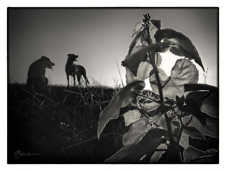 Pups at Sunset