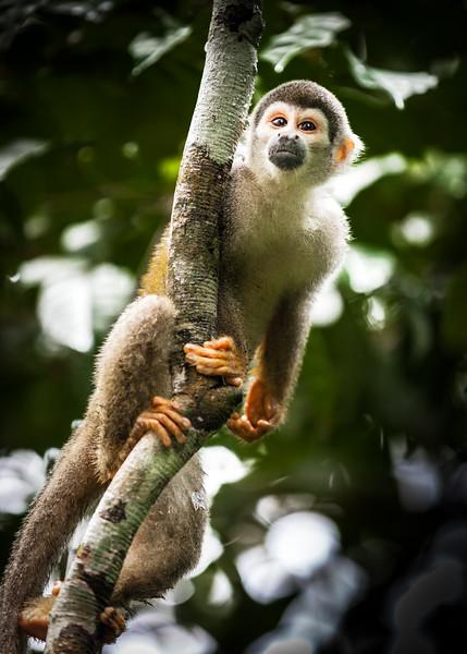 Amazonian squirrel monkey