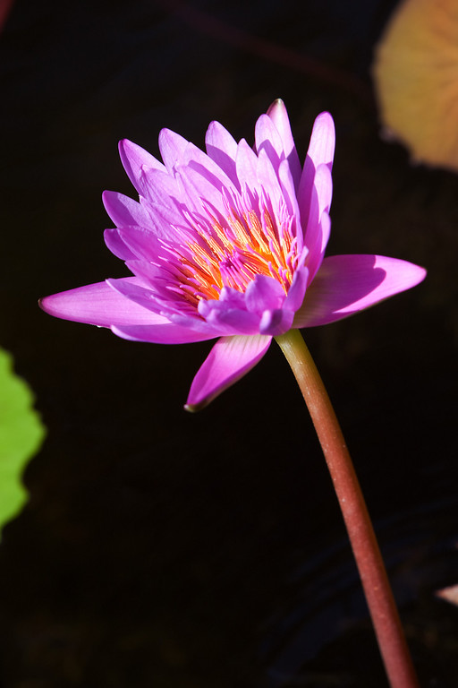 Water Lily 9X12 ratio