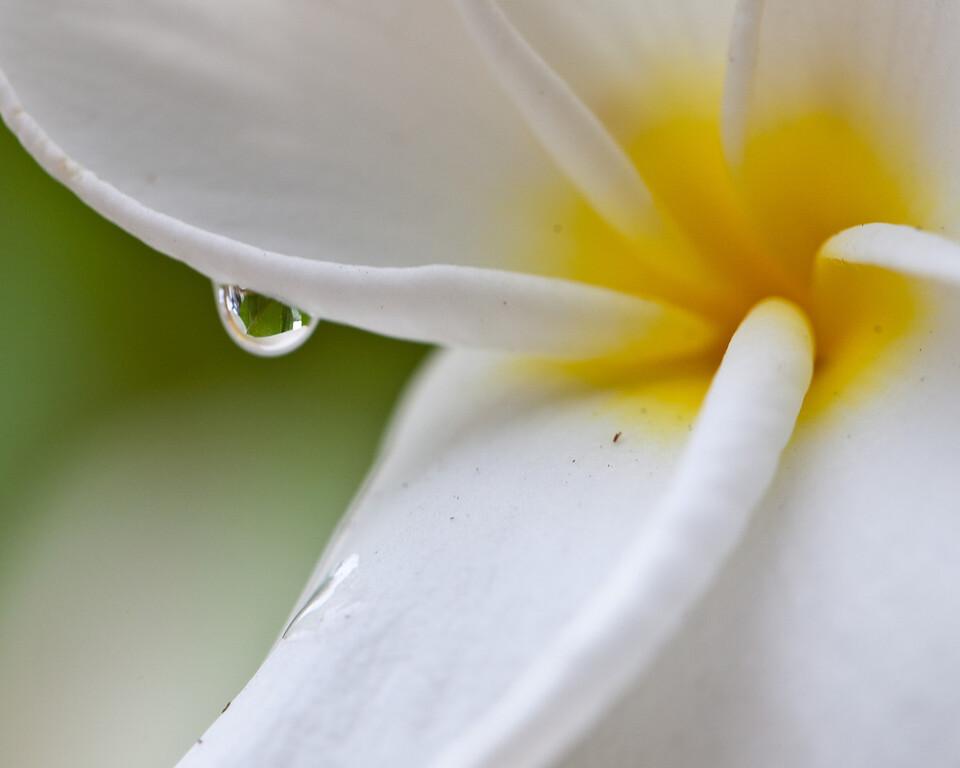 Frangipani and Rain Drop (Plumeria)