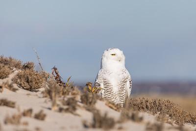 Hamptons Bays Owl