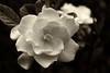 Gardenia in Sepia Tones #1570