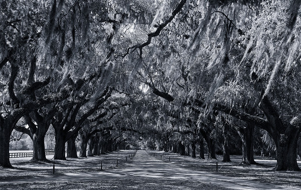 Live Oaks in black and white