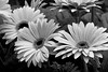 Black and White Gerber Daisies