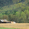 Cades Cove barn along Sparks Lane in spring. The barn has collapsed and the tree was struck by lightning and is no longer there.