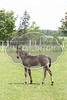 Woodmere Standardbred Breeding Farm, Marshfield PEI owned by Wally and Doris Wood <br /> Costly Ball`s foal (colt)
