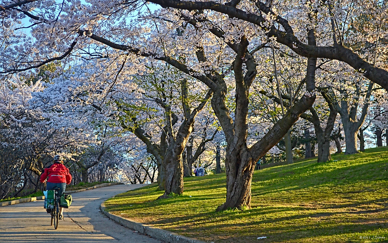 """""""Under the protection of Cherry Blossoms""""  West Road, High Park, Bloor West Village, Toronto"""