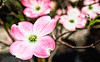Dogwood Blooms Oil Painting