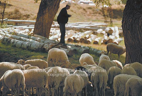 Kosovo Shepherd