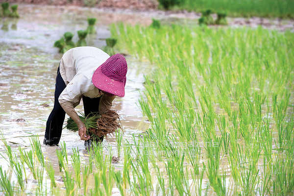 A woman transplants rice. The rice fields do not yield enough to support most families.