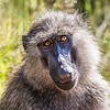 Baboon in the Masaai Mara