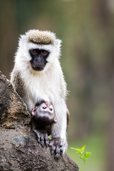 Mama Vervet Monkey with Her Baby