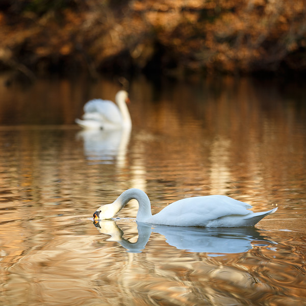 Swans on Kingsmill Pond