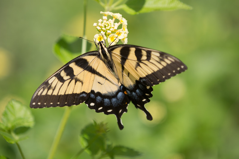 Swallowtail Butterfly on Yellow Flowers