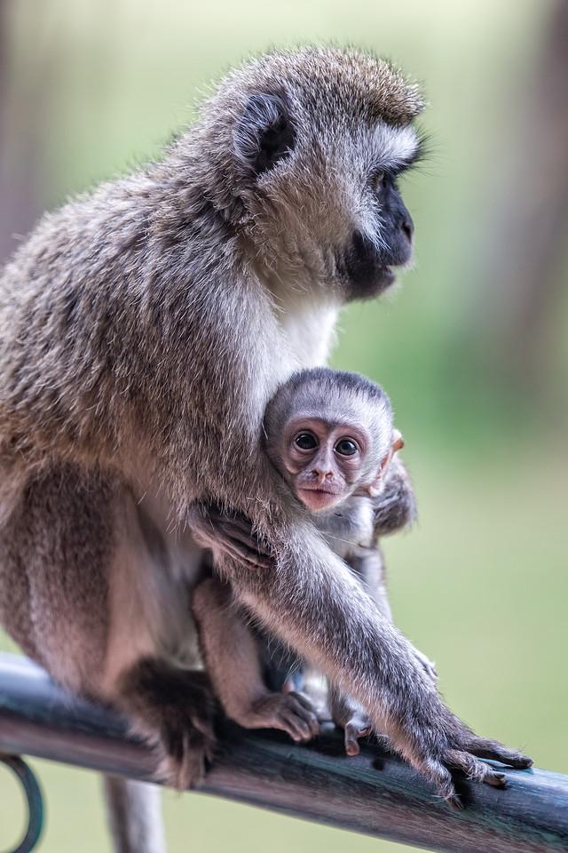 Vervet Mama and Baby