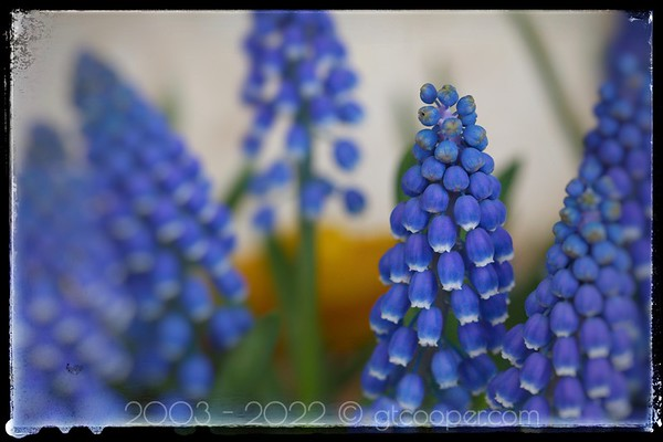 Muscari Blue