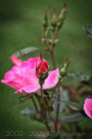 Shrub Rose II