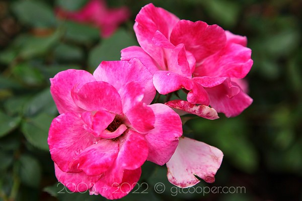 Shrub Rose I