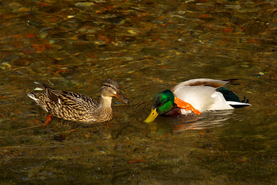 1 pair of Mallard Ducks.
