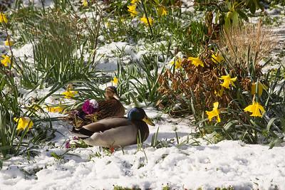 1 Pair of Mallard Ducks in the Snow.