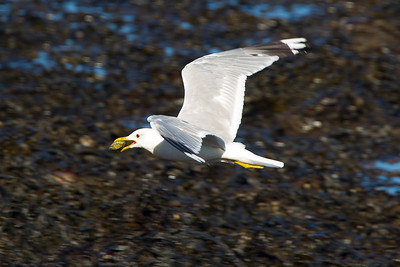 Common Gull with a Mussel.