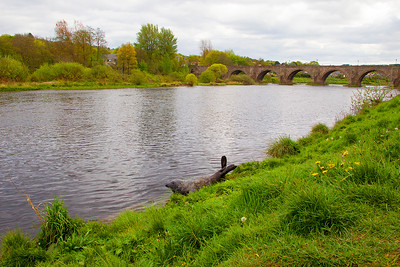 Grey Seal at the Old Brig of Dee. Aberdeen.