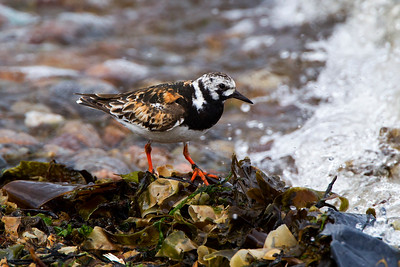 Male Turnstone. in Breeding Plumage.