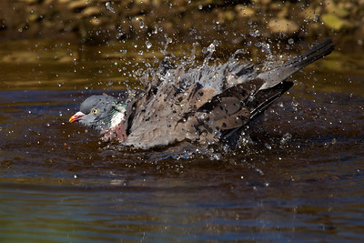 Wood pigeon bathing.