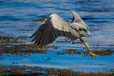 Heron in Flight.
