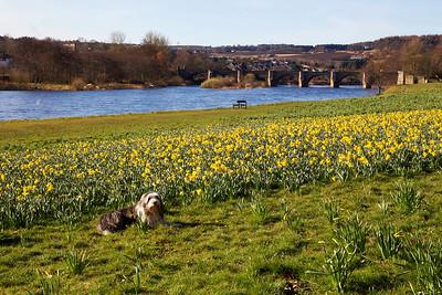 Buddy in amongst the Daffodils. Aberdeen.