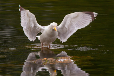 Common Gull.