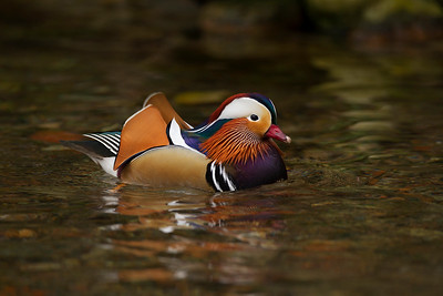 Mandarin Duck. Male.