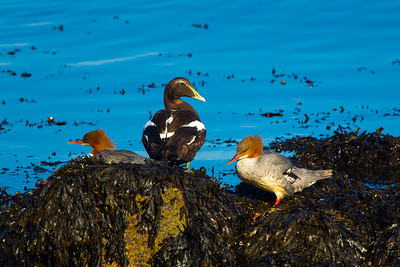 2 Female Goosanders and 1 Male Eider Duck in Eclipse Plumage.