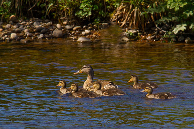 Female Mallard with her Chicks.