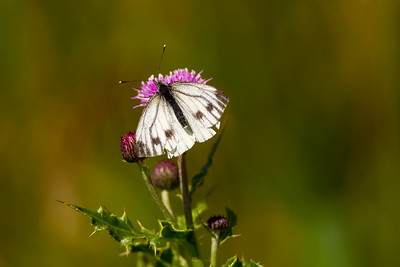 Female SMALL WHITE Butterfly