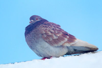 Common Pigeon on Snow.