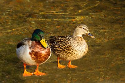 Pair of Mallard Ducks.