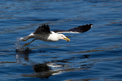 Lesser Great Black Backed Gull with Food.