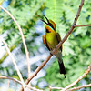Bee-eater 4