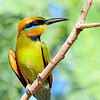 Bee-eater 5