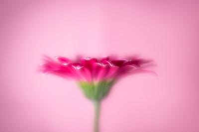 Soft Focus Pink Daisy