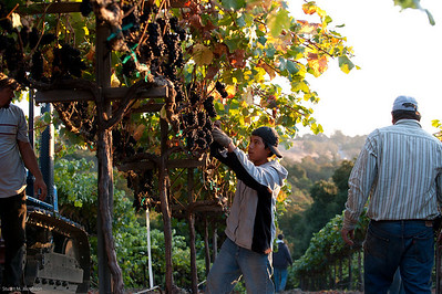 Pinot grape harvest