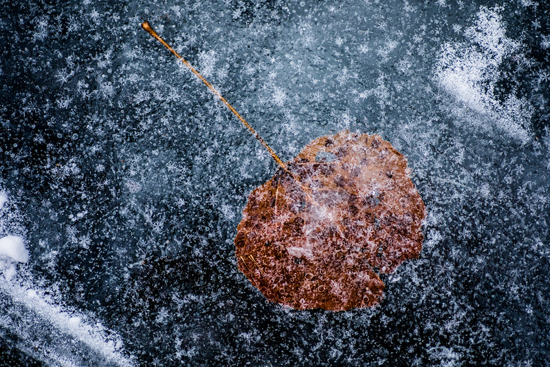 Ice Encased Leaf