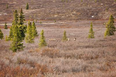 Caribou | Denali National Park, Alaska