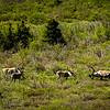 More caribous in Denali