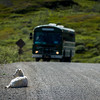 Not unnerved by the approaching bus at Polychrome Pass this dall sheep relaxes while overlooking the Tundra.