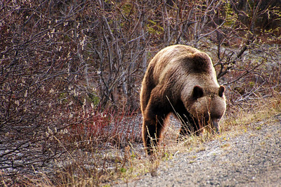 Grizzly Bear | Denali National Park, Alaska