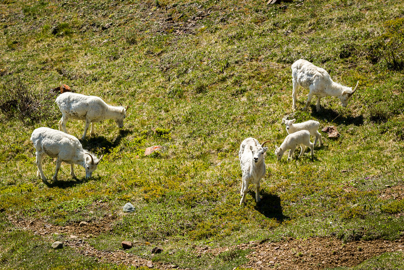 Lots of Dall Sheep at Polychrome Pass grazing quietly.
