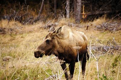 Moose | Whittier, Alaska