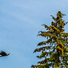 Bald Eagles in Juneau